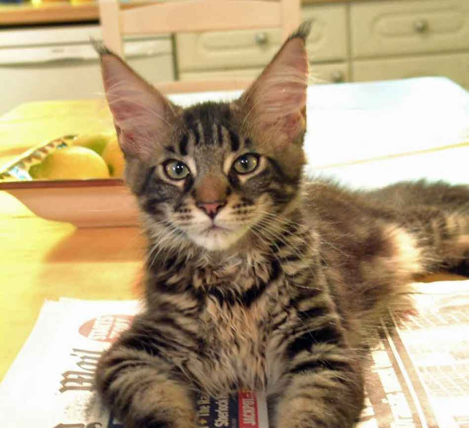 a maine coon kitten on a paper