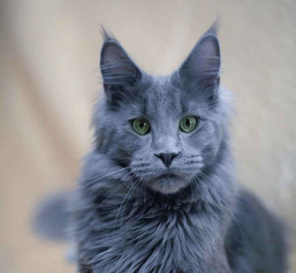 a silver blue maine coon close up