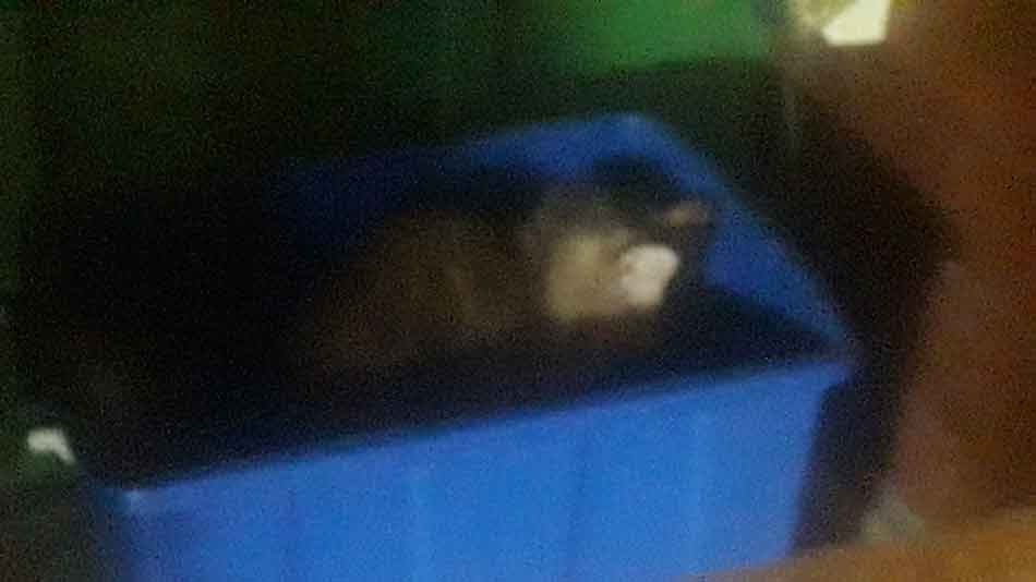 alita the maine coon in a high sided litter box