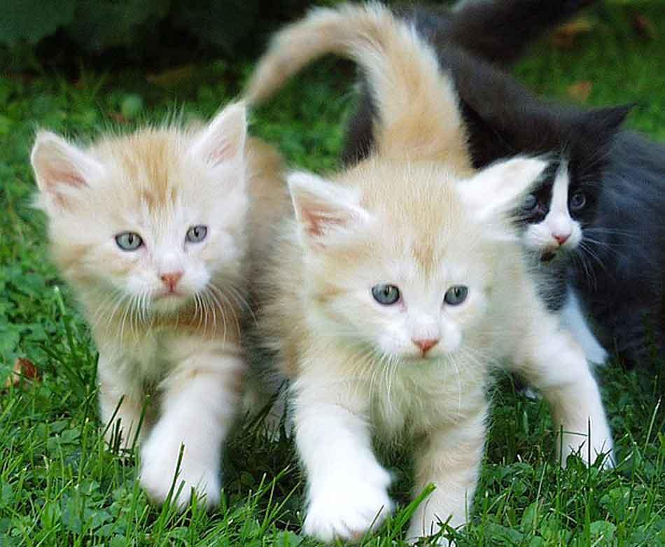 3 maine coon kittens on grass