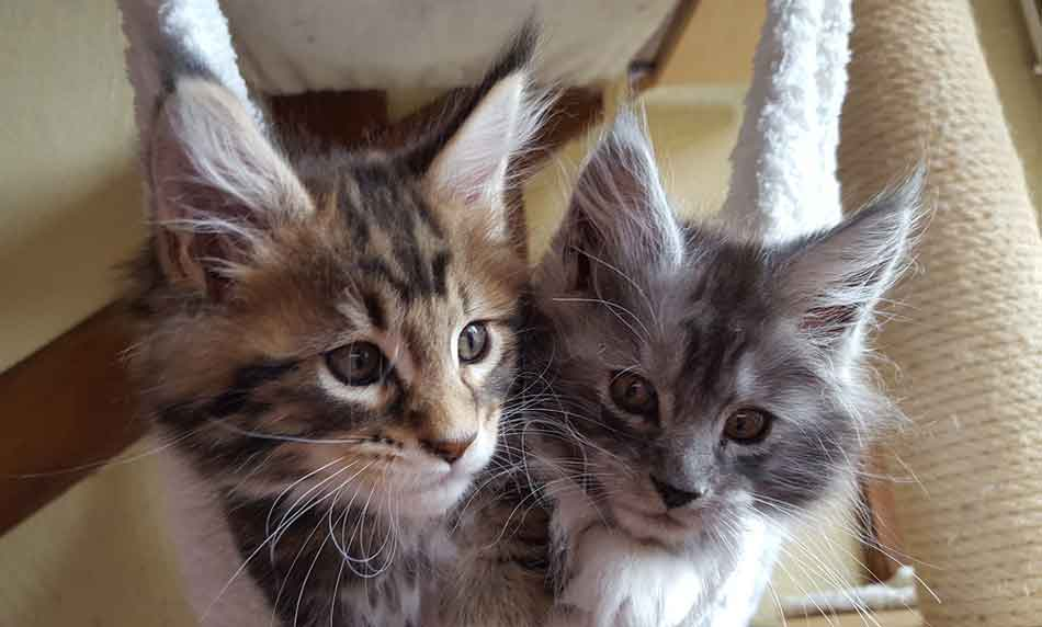 2 maine coon kittens in a sack
