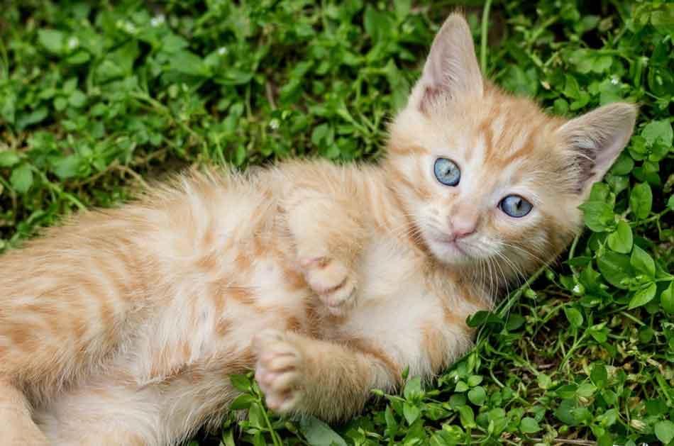 a ginger maine coon kitten lying on grass