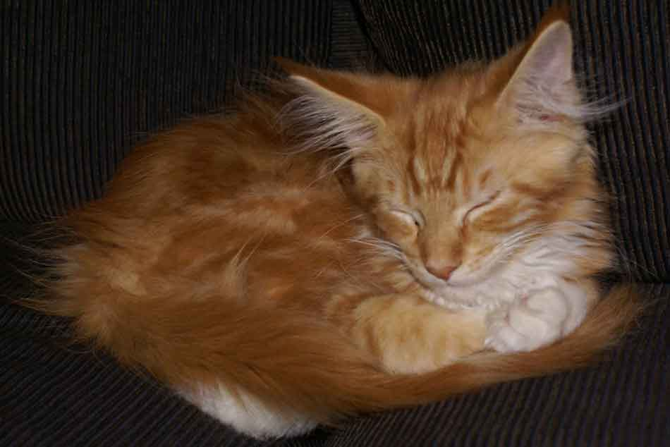 a ginger maine coon kitten curled up