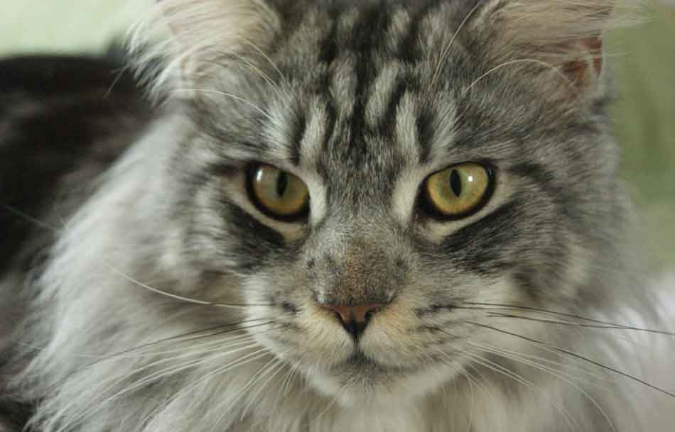 close up of a maine coon face