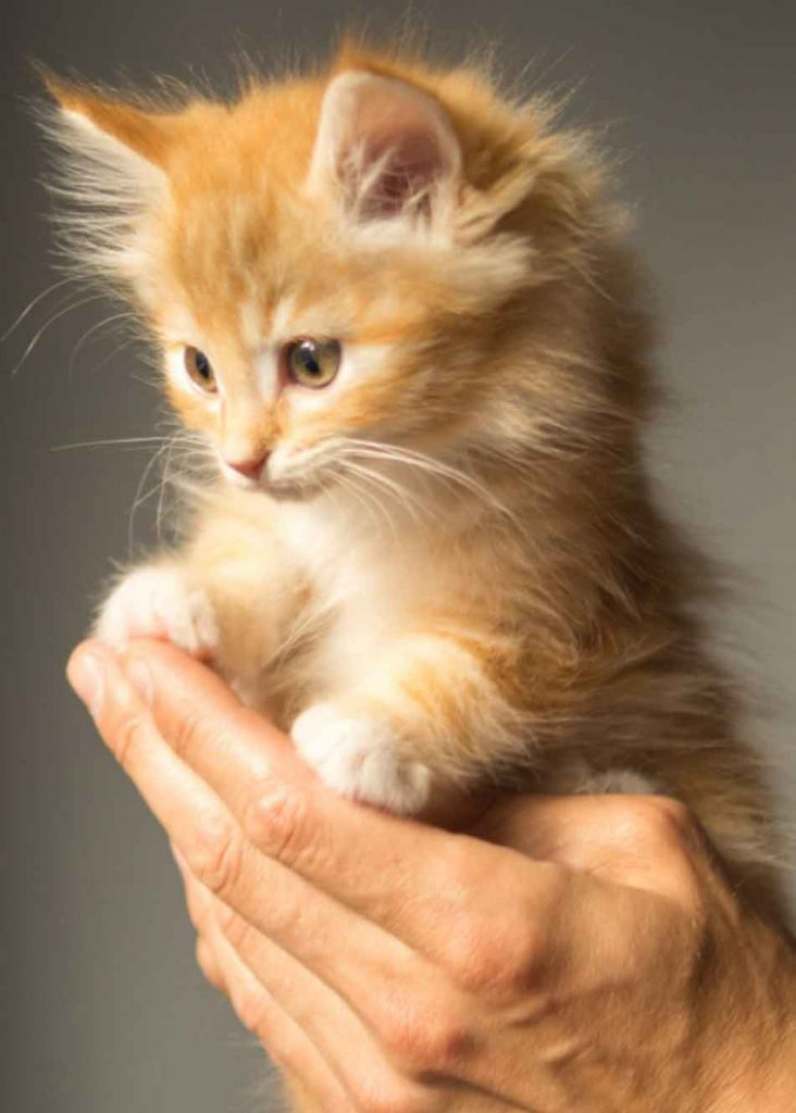 a maine coon kitten in a hand