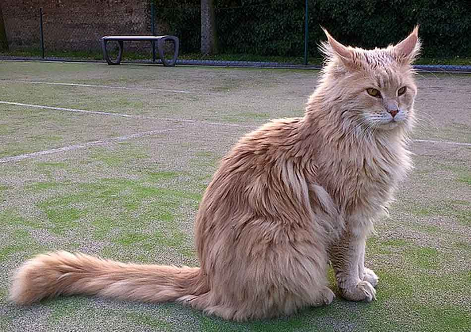 a maine coon ginger adult