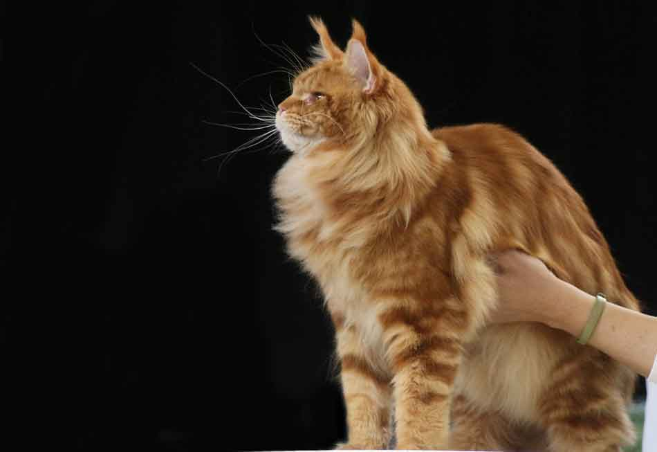 a ginger maine coon large