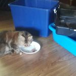 Choosing A Litter Box For A Maine Coon (What Actually Works)