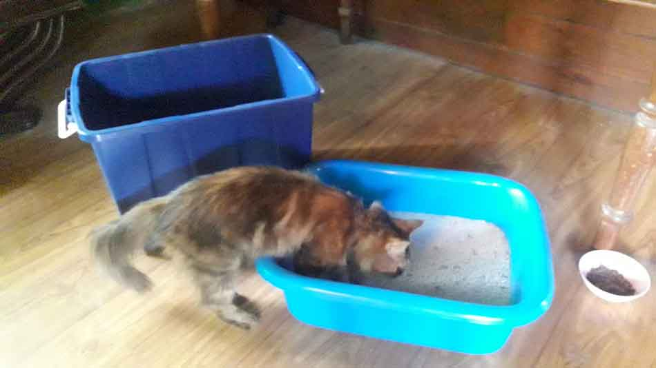 Alita the Maine Coon with 2 litter boxes