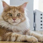 Do Maine Coon Cats Have Manes?