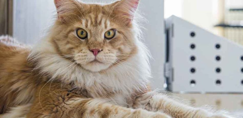 a maine coon displaying the mane