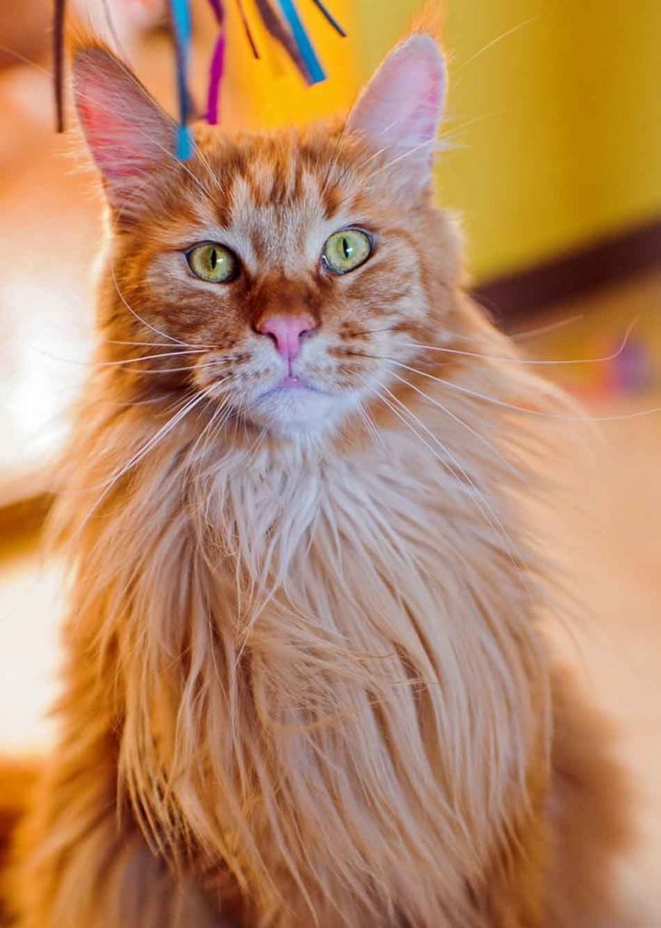 a maine coon with a long flowing mane
