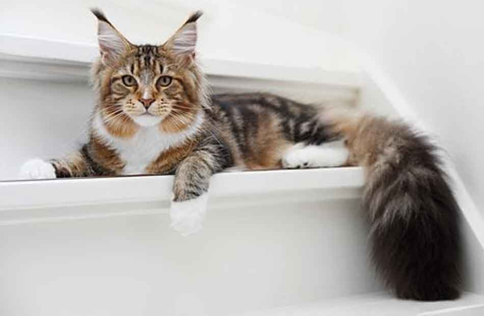 a maine coon staring on a step