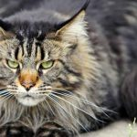 Are Maine Coon Cats Mean?
