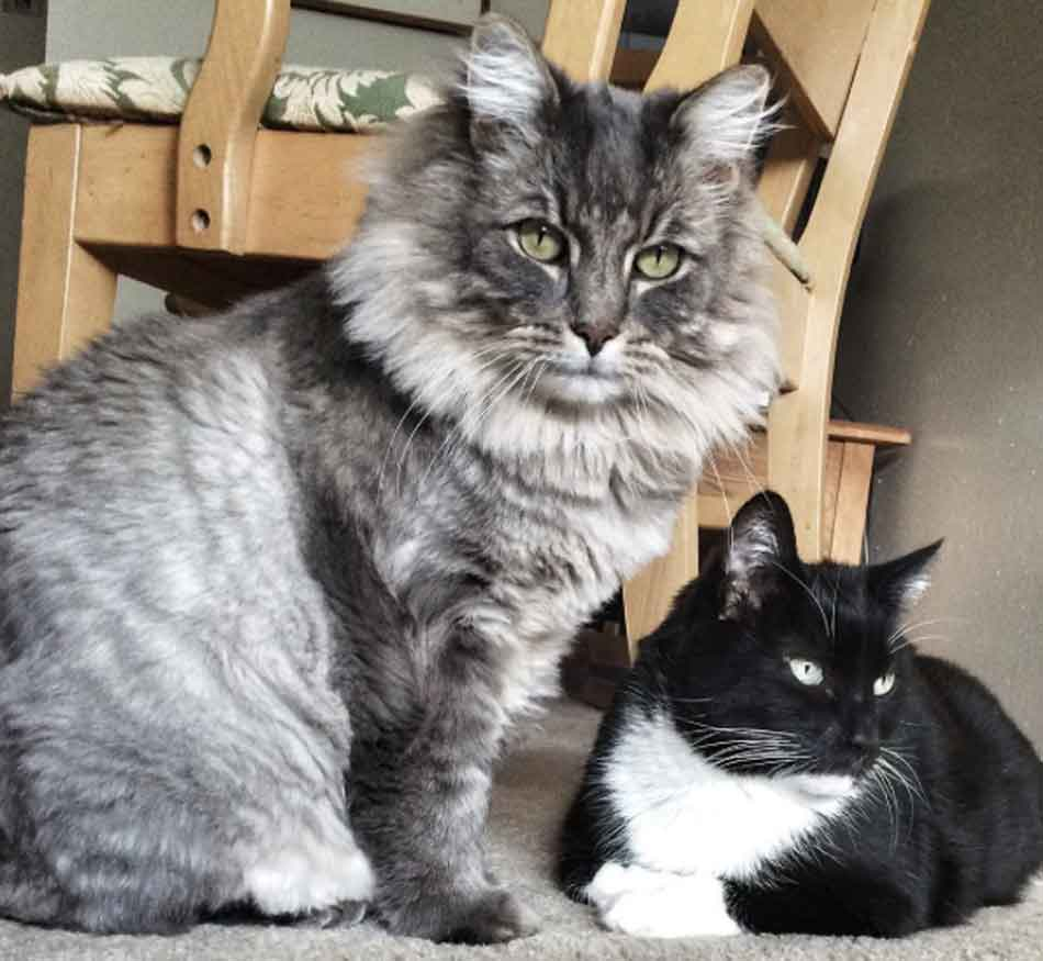 a large silver maine coon next to a normal sized cat