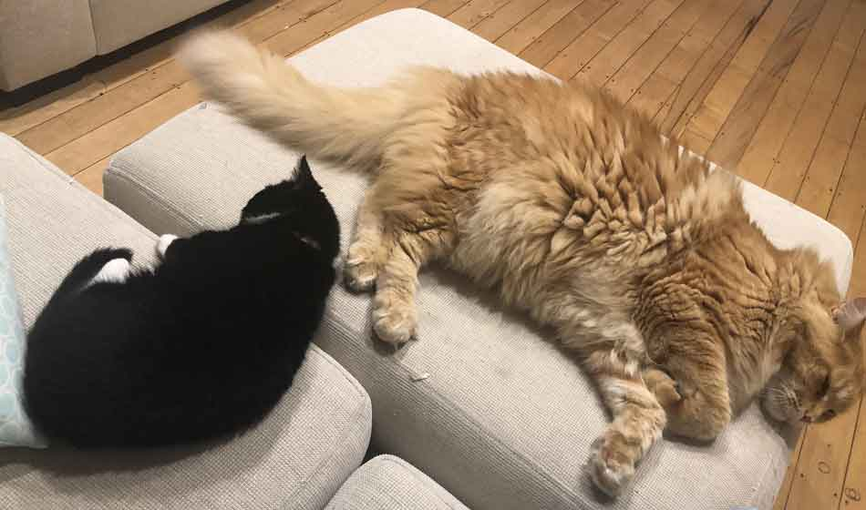 a maine coon next to a large ginger maine coon