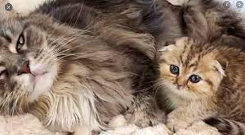 a maine coon kitten next to a munchkin cat