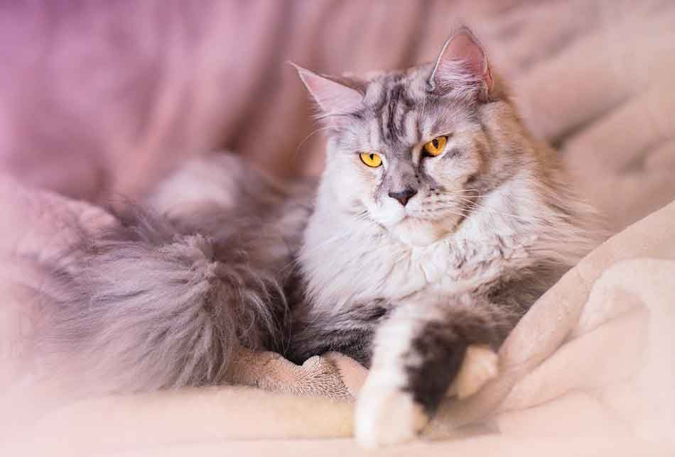 an articstic photo of a maine coon