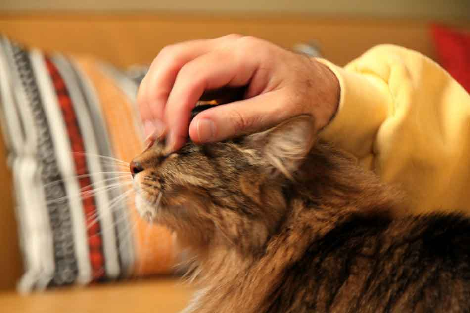 a hand stroking the nose of a maine coon