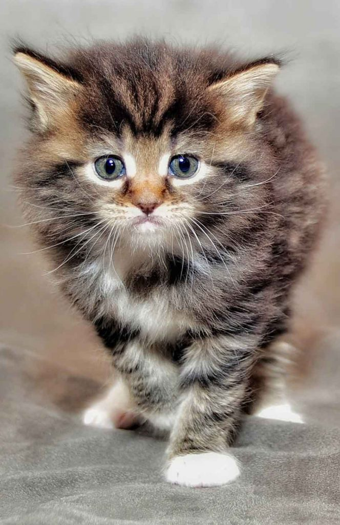 a maine coon kitten looking straight ahead