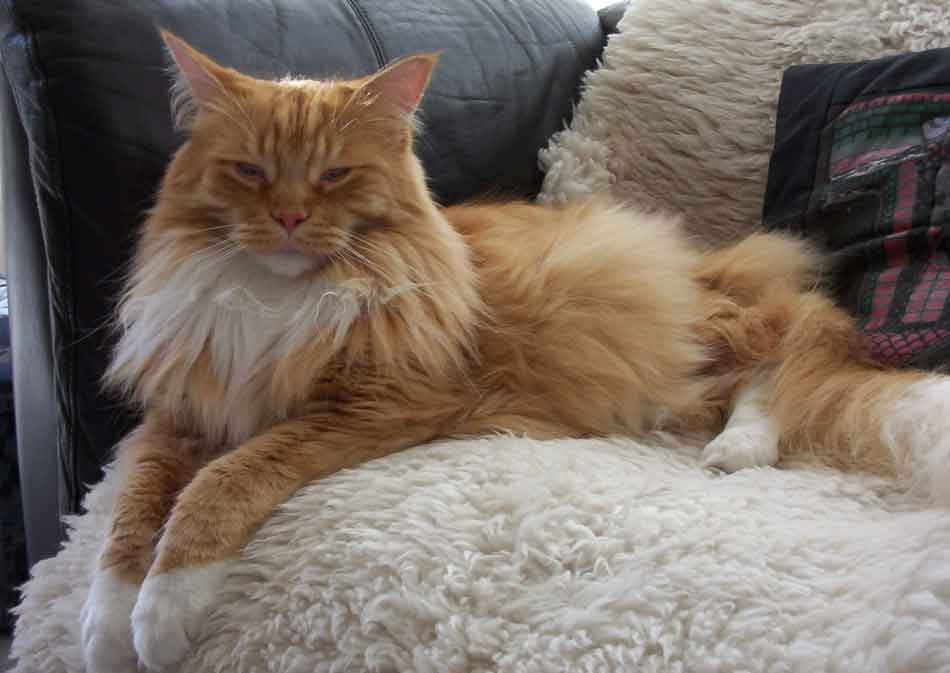 a maine coon on a couch