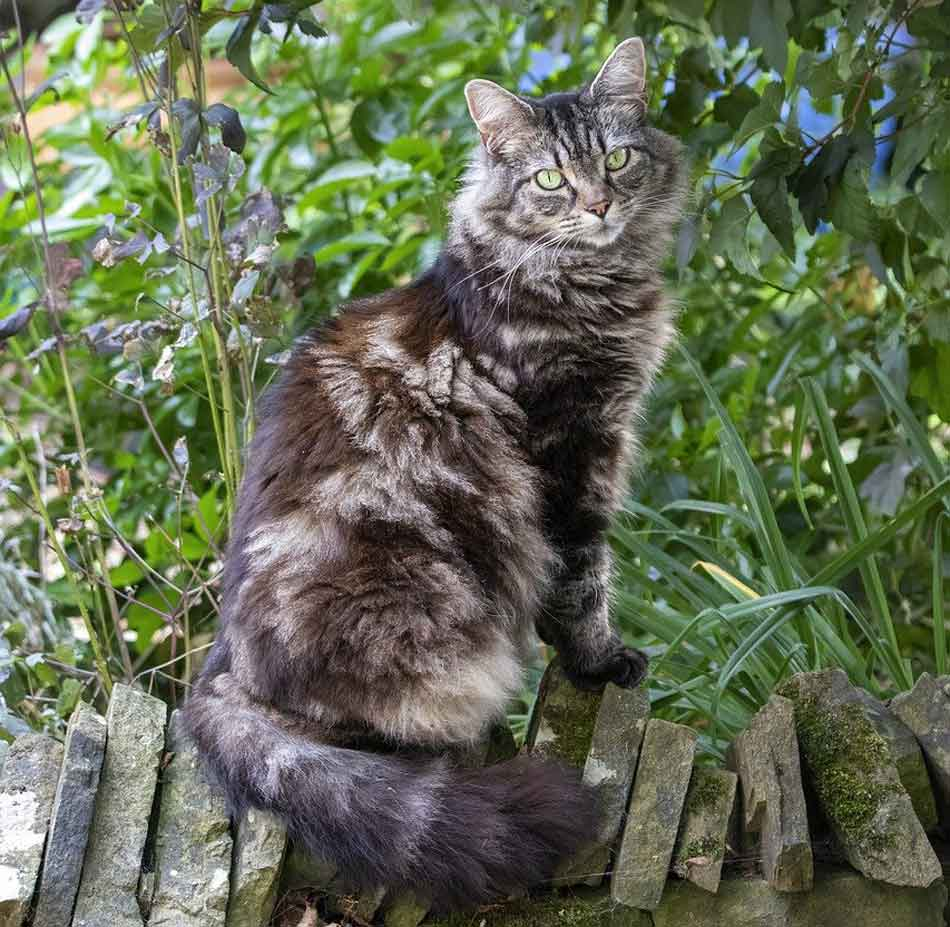 a maine coon sitting on a wall
