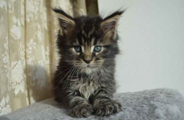 Are Maine Coons One Person Cats (Let's Find Out)