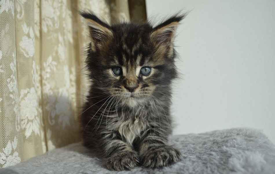 a maine coon kitten on its own