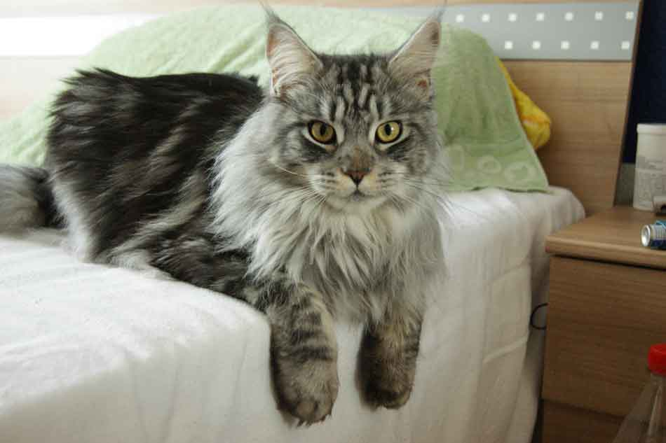 a maine coon on a bed