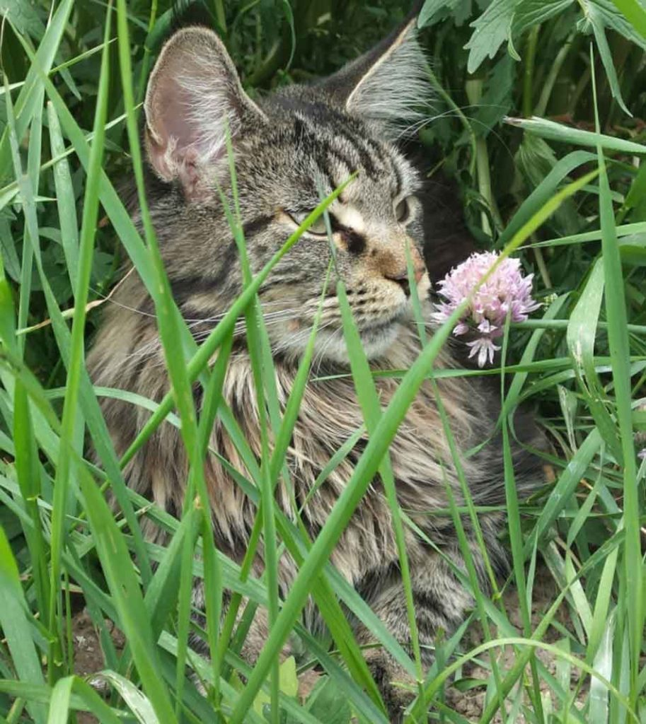a maine coon hiding in the grass