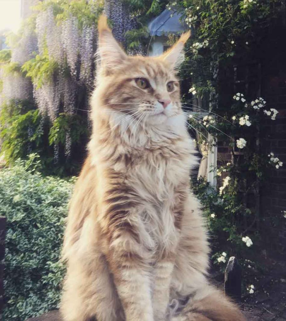 a maine coon standing proud outside