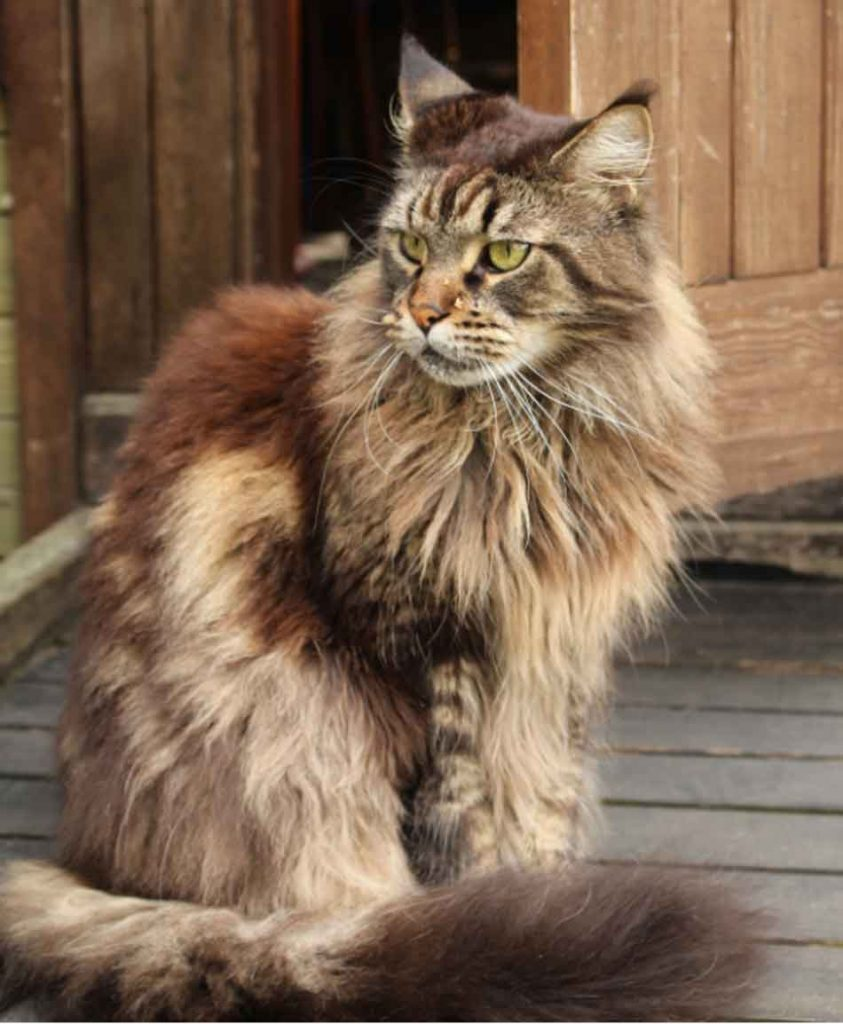 a maine coon in a sitting pose