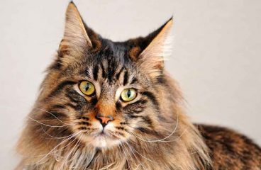 A List Of The Maine Coon Breeders In Europe And The Rest Of The World