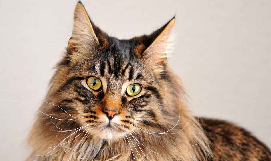 a maine coon face and side profile