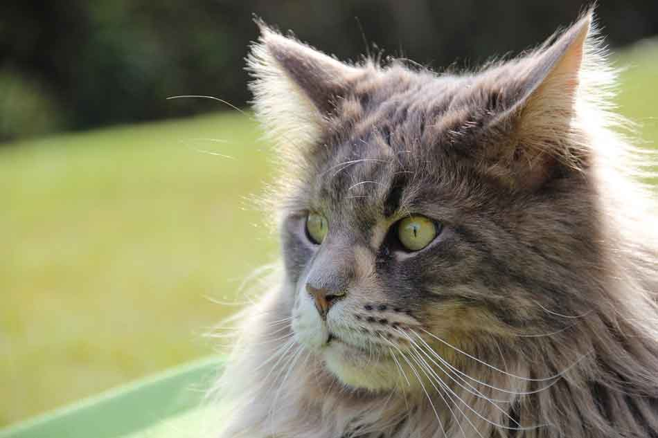 a maine coon close up