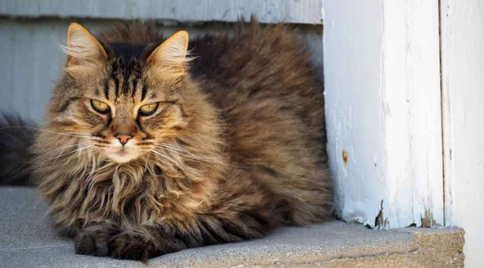 a maine coon lying down