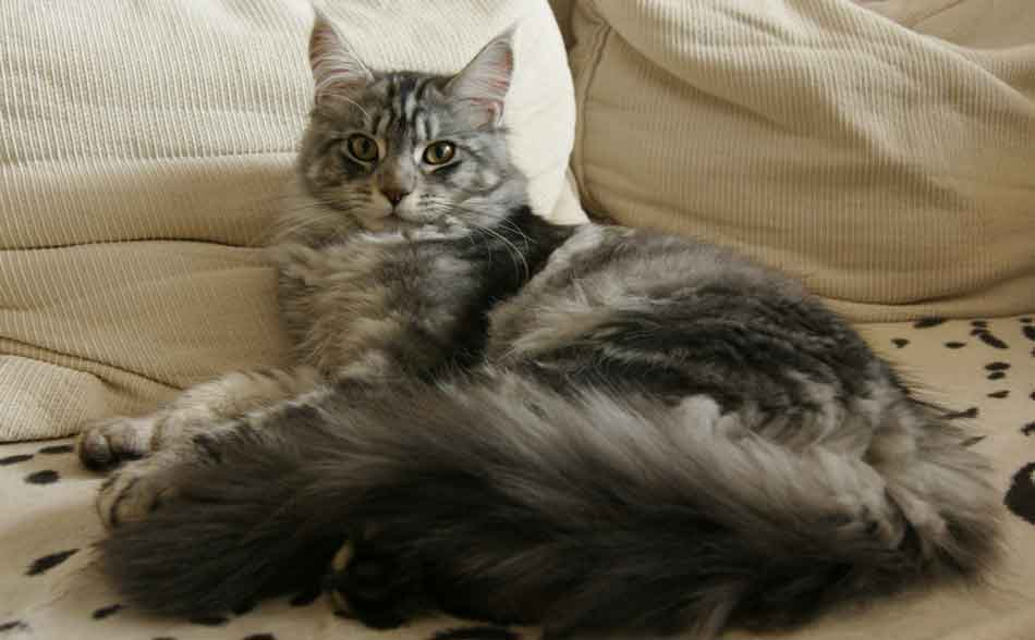 a maine coon lying on the bed