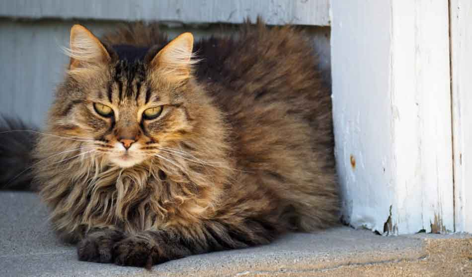 a maine coon relaxing near a barn