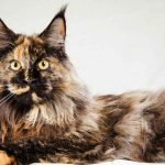 Do Maine Coons Always Have Ear Tufts?