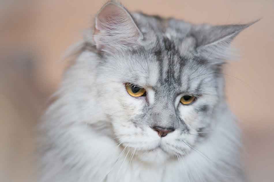 a silver white maine coon