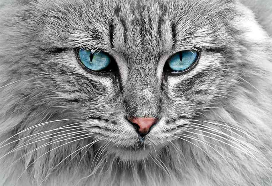 a silver maine coon close up