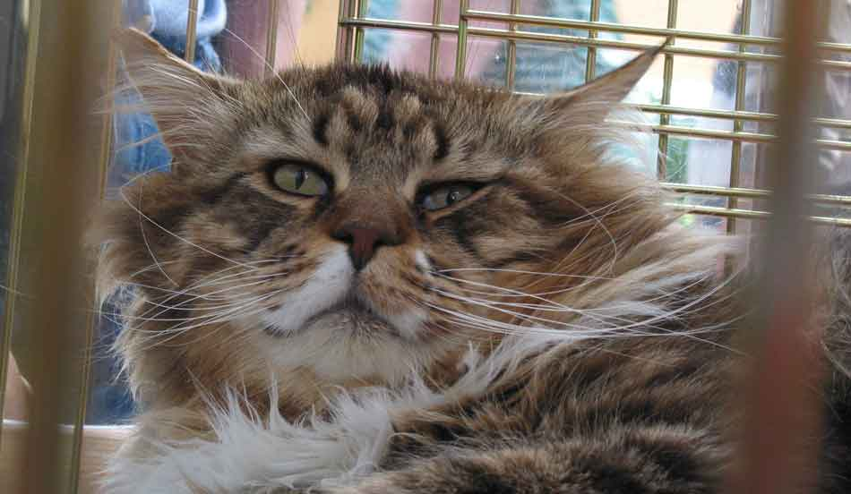 a maine coon looking grumpy