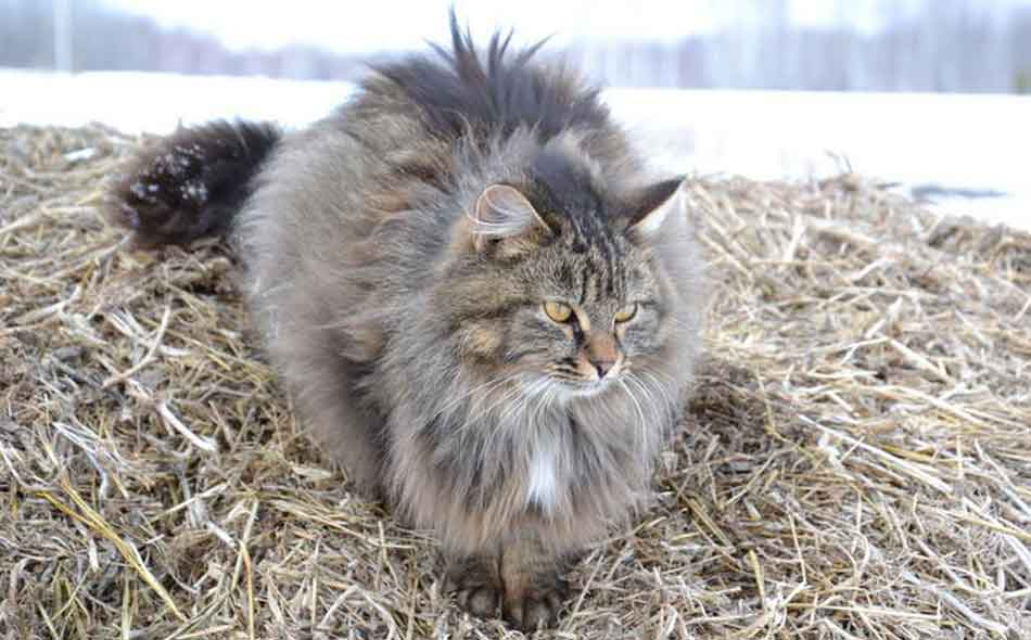 a maine coon on some hay