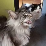 Why Do Maine Coons Talk So Much?