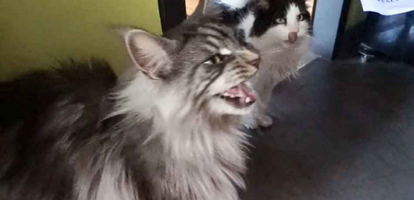 a maine coon being vocal