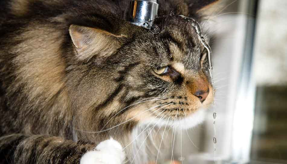 a manine coon with its head under the tap