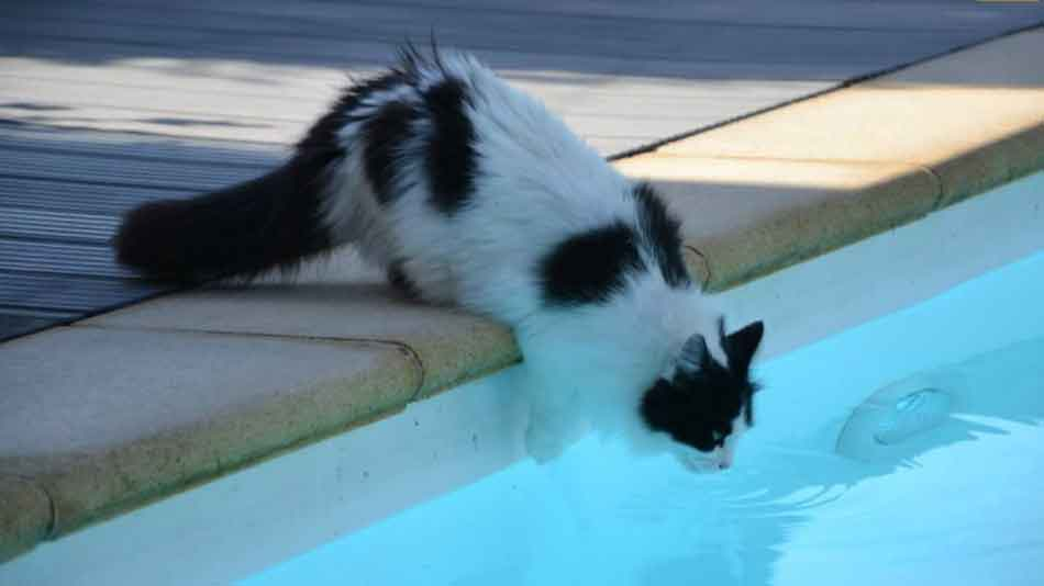 a maine coon drinking from a swimming pool