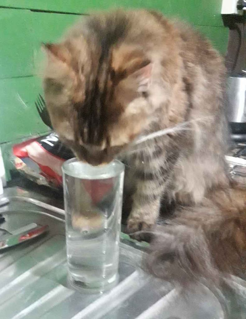 a maine coon drinking from a glass of water