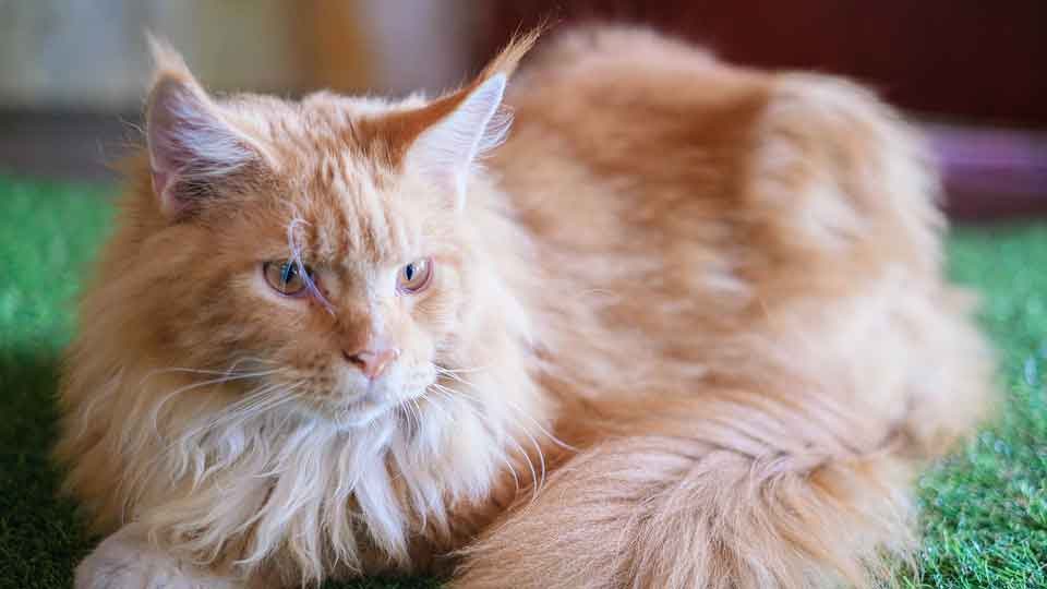 a ginger maine coon lying down