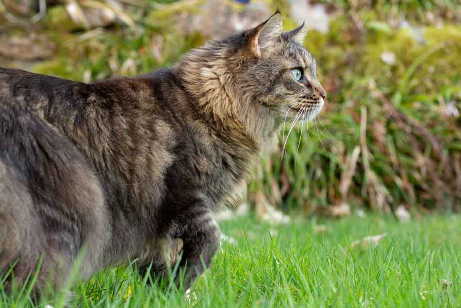 a maine coon prowling